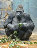 Male western lowland gorilla. Gorilla gorilla gorilla Stock Image