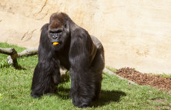 Male Western lowland gorilla. Western lowland gorilla or Gorilla gorilla gorilla eating an orange Stock Photography