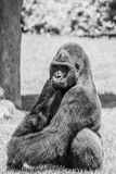 Western Lowland Gorilla Sitting in Grass and Making Eye Contact on Sunny Day B&W stock images
