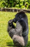 Western Lowland Gorilla Sitting in Grass and Touching Mouth on Sunny Day. Male Western Lowland Gorilla sitting and touching mouth in green grass with trees in Stock Photo