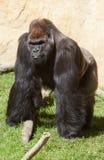 Male Western lowland gorilla. Western lowland gorilla or Gorilla gorilla gorilla staring to the camera Stock Image