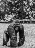 Western Lowland Gorilla Walking in Grass on Sunny Day Monochrome. Male Western Lowland Gorilla walking in green grass with trees in background on a sunny day in Stock Image
