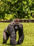 Western Lowland Gorilla Walking in Grass on Sunny Day. Male Western Lowland Gorilla walking in green grass with trees in background on a sunny day Royalty Free Stock Images