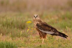 Male western marsh harrier, Circus aeruginosus. On meadow background Stock Photo