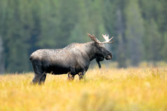Male Western Moose, Alberta, Canada. Stock Photo
