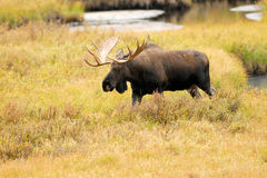 Male Western Moose, Alberta, Canada. Royalty Free Stock Photography