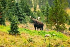 Male Western moose portrait (Alces alces andersoni. ). Kananaskis, Alberta, Canada, North America standing among wild vegetation and trees looking at the camera Royalty Free Stock Photo