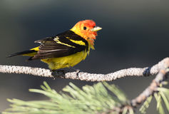 Male Western Tanager with Dark Background. Standing on a branch, Oregon, USA Stock Photo