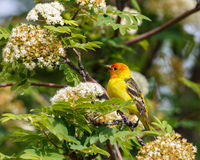Male Western Tanager at rest. A male Western Tanager resting on a branch with green leaves and white flowers Royalty Free Stock Photography