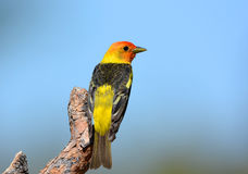 Male Western Tanager, standing on a branch, Oregon, USA. Male Western Tanager with blue sky Background, standing on a branch, Oregon, USA Stock Photo