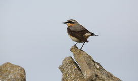 A male Wheatear, Oenanthe oenanthe, perched on a rock. Stock Photos