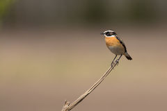 Male whinchat. Standing on a stick in spring in Soomaa National Park, Estonia Royalty Free Stock Image