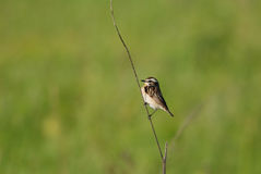 Male whinchat on a straw Stock Photos