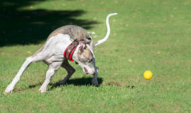 A male whippet chasing a ball. In a park Stock Image