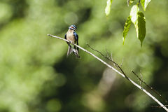 Male Whiskered Tree Swift Perched on Branch. With a nicely blurred greenery for background, a male whiskered tree swift, sexual dimorphism evidenced by its Royalty Free Stock Image