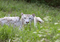 Male white bengal. Tiger in captive environment Royalty Free Stock Photos
