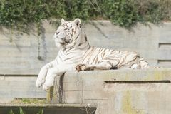 Male of white bengal tiger. Falcao male of white bengal tiger resting in the sun Royalty Free Stock Photography