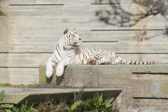Male of white bengal tiger. Falcao male of white bengal tiger resting in the sun Royalty Free Stock Image
