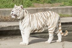 Male of white bengal tiger. Falcao male of white bengal tiger resting in the sun Stock Photography
