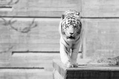 Male of white bengal tiger. Falcao male of white bengal tiger resting in the sun Stock Photo