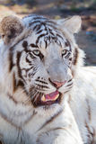 Male white bengal tiger Royalty Free Stock Photo