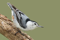 Male White-breasted Nathatch Perched on a Branch - Ontario, Cana Stock Image