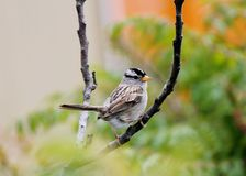 Male White-Capped Sparrow. Sitting on V of branches Stock Images