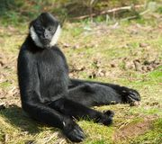 Male White-cheeked gibbon Stock Image