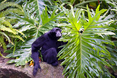 Male White-Cheeked Gibbon. Resting on Rock Royalty Free Stock Photography