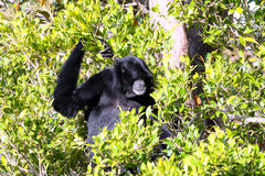 Male White-Cheeked Gibbon. Sitting in Tree - Hylobates leucogenys Stock Photography