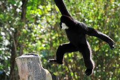 Male white-cheeked Gibbon monkey (Nomascus) Stock Images