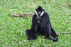 Male White-cheeked gibbon  (Nomascus leucogenys). Eating yardlong bean Royalty Free Stock Photos