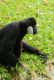 Male White-cheeked gibbon (Nomascus leucogenys) Stock Images
