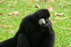 Male White-cheeked gibbon (Nomascus leucogenys) Stock Image