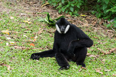 Male White-cheeked gibbon or Northern white-cheeked gibbon (Noma. Male White-cheeked gibbon sitting on green grass Stock Photography