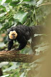 Male white-faced saki. On the trunk Stock Images