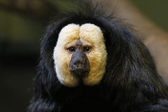 Male White-faced Saki. The face of a male White-faced Saki (Pithecia pithecia Royalty Free Stock Image