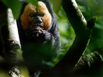 Male White Faced Saki. A male white-faced saki feeds Stock Photo