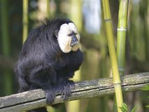 White-faced saki on branch. Male white-faced saki Pithecia pithecia, called the Guianan saki and the golden-faced saki, on branch among bamboo Stock Photo