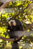 Male White-faced Saki Pithecia pithecia. Sits in a cage in captivity Royalty Free Stock Photos