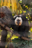 Male White-faced Saki Pithecia pithecia. Sits in a cage in captivity Stock Photo
