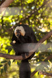 Male White-faced Saki Pithecia pithecia. Sits in a cage in captivity Stock Images