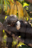 Male White-faced Saki Pithecia pithecia. Sits in a cage in captivity Royalty Free Stock Image