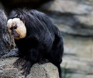 Male white-faced saki sitting on a stone. In the zoo Royalty Free Stock Photos