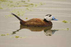 White-headed Duck. Male White-headed Duck with reflection on water Royalty Free Stock Photos