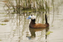 Male White-headed Duck Stock Image