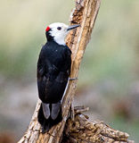 Male White-headed Woodpecker Royalty Free Stock Images