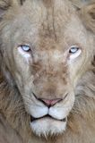 Male white lion Stock Image