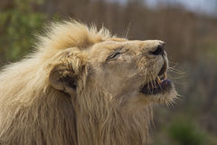 Male White Lion Basking in the Sun. With His Mouth Open Royalty Free Stock Image