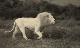 Male white lion. Royalty Free Stock Photos